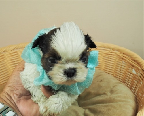 シーズーの子犬(ID:1255511295)の1枚目の写真/更新日:2017-08-24