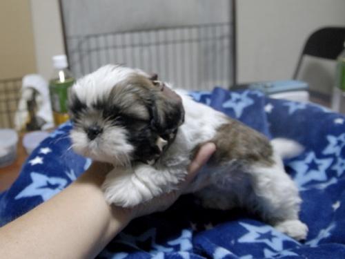 シーズーの子犬(ID:1255511296)の2枚目の写真/更新日:2017-08-24
