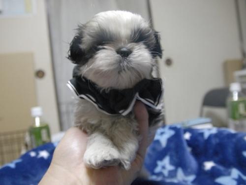 シーズーの子犬(ID:1255511297)の1枚目の写真/更新日:2017-08-24