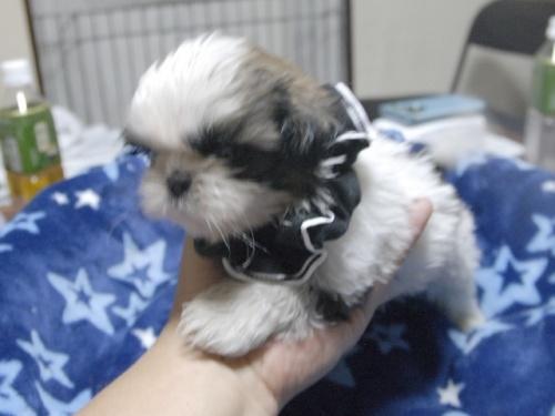 シーズーの子犬(ID:1255511297)の2枚目の写真/更新日:2017-08-24