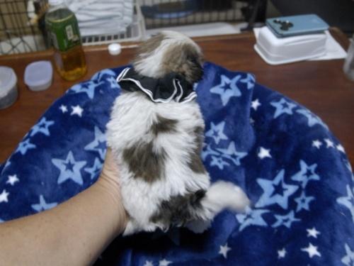 シーズーの子犬(ID:1255511297)の3枚目の写真/更新日:2017-08-24