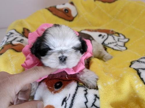 シーズーの子犬(ID:1255511299)の1枚目の写真/更新日:2019-03-01