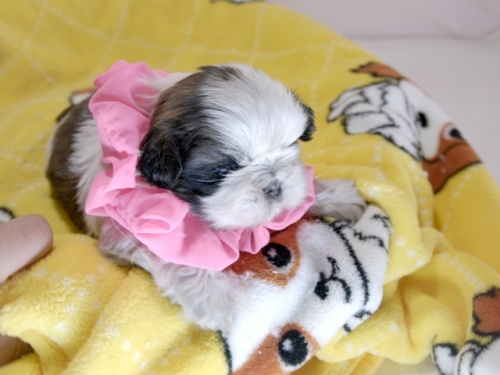 シーズーの子犬(ID:1255511299)の2枚目の写真/更新日:2019-03-01