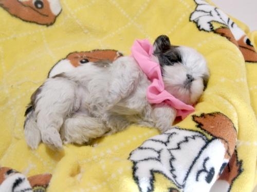 シーズーの子犬(ID:1255511299)の3枚目の写真/更新日:2019-03-01