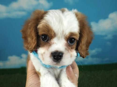キャバリアの子犬(ID:1255511300)の5枚目の写真/更新日:2021-04-29