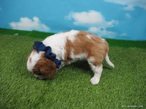 キャバリアの子犬(ID:1255511301)の3枚目の写真/更新日:2017-08-24