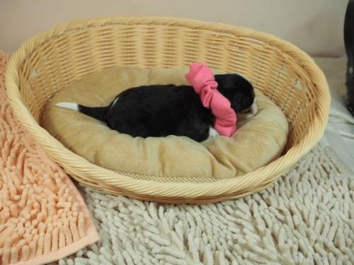 キャバリアの子犬(ID:1255511303)の2枚目の写真/更新日:2018-06-11