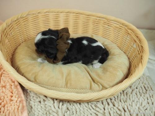 キャバリアの子犬(ID:1255511303)の3枚目の写真/更新日:2019-11-08