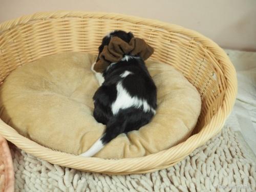 キャバリアの子犬(ID:1255511303)の4枚目の写真/更新日:2018-06-11