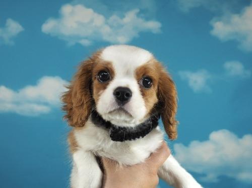 キャバリアの子犬(ID:1255511304)の1枚目の写真/更新日:2018-06-19