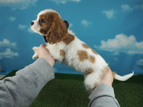 キャバリアの子犬(ID:1255511304)の3枚目の写真/更新日:2019-11-08