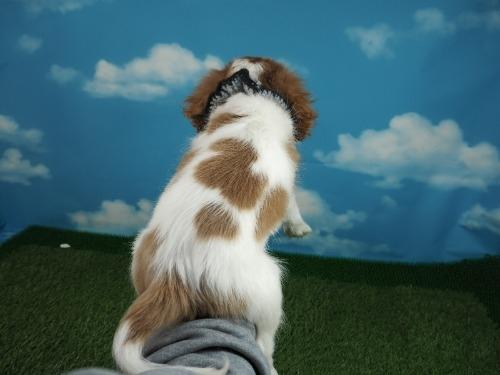 キャバリアの子犬(ID:1255511304)の4枚目の写真/更新日:2021-01-11
