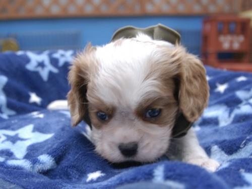 キャバリアの子犬(ID:1255511305)の1枚目の写真/更新日:2018-06-19