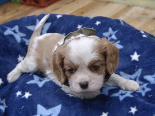 キャバリアの子犬(ID:1255511305)の2枚目の写真/更新日:2018-06-19
