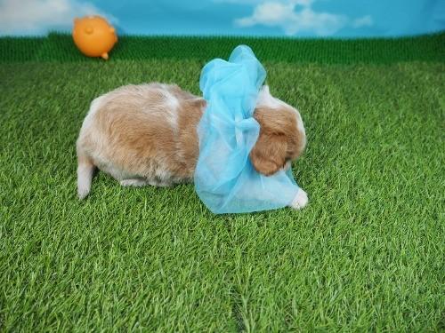 キャバリアの子犬(ID:1255511306)の2枚目の写真/更新日:2017-09-08