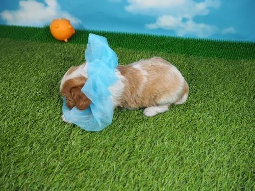 キャバリアの子犬(ID:1255511306)の3枚目の写真/更新日:2017-10-05