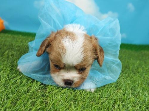 キャバリアの子犬(ID:1255511306)の5枚目の写真/更新日:2021-09-02