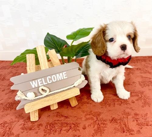 キャバリアの子犬(ID:1255511307)の1枚目の写真/更新日:2019-04-05