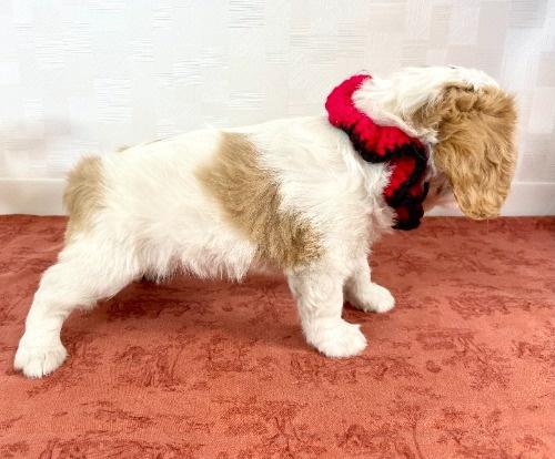 キャバリアの子犬(ID:1255511307)の2枚目の写真/更新日:2021-04-01