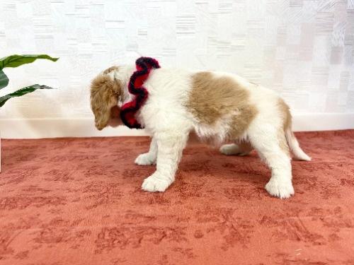 キャバリアの子犬(ID:1255511307)の3枚目の写真/更新日:2018-06-11
