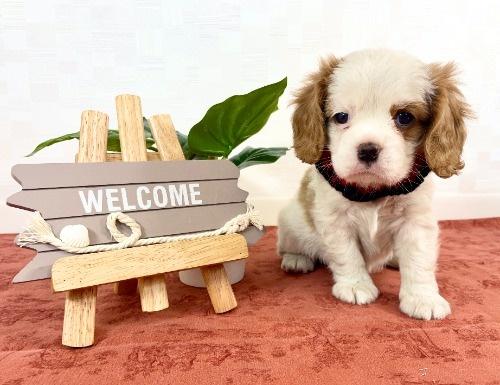 キャバリアの子犬(ID:1255511307)の5枚目の写真/更新日:2021-04-08
