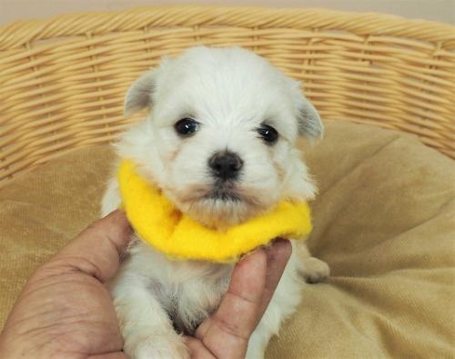 キャバリアの子犬(ID:1255511308)の1枚目の写真/更新日:2017-09-08