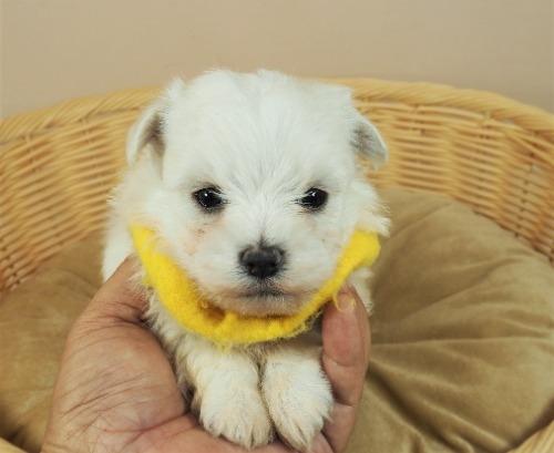 マルチーズの子犬(ID:1255511308)の5枚目の写真/更新日:2021-10-07