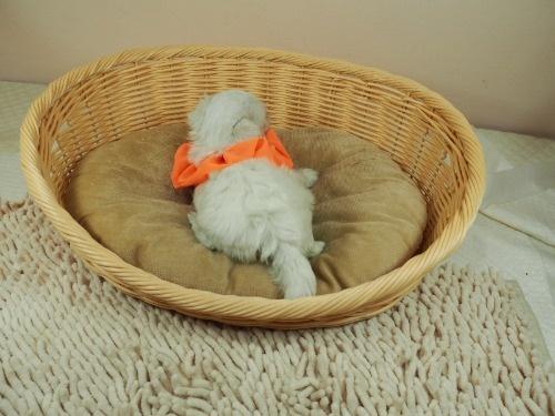 マルチーズの子犬(ID:1255511309)の4枚目の写真/更新日:2017-10-05