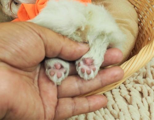 マルチーズの子犬(ID:1255511309)の5枚目の写真/更新日:2017-10-05
