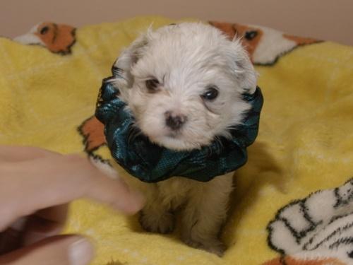 マルチーズの子犬(ID:1255511310)の1枚目の写真/更新日:2019-09-25