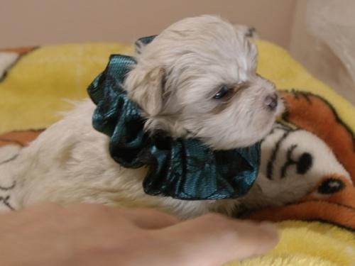 マルチーズの子犬(ID:1255511310)の2枚目の写真/更新日:2017-10-05