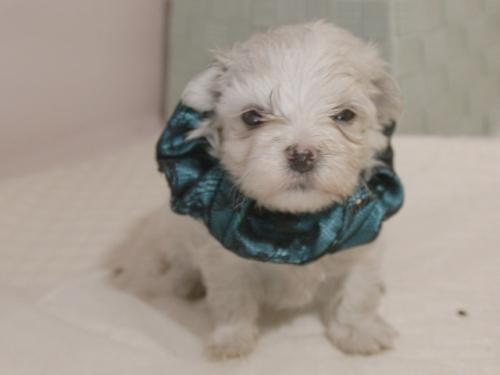 マルチーズの子犬(ID:1255511310)の4枚目の写真/更新日:2019-09-25