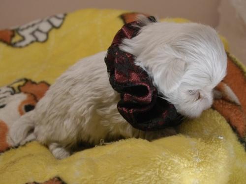 マルチーズの子犬(ID:1255511311)の2枚目の写真/更新日:2017-10-05