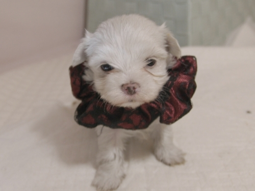 マルチーズの子犬(ID:1255511311)の4枚目の写真/更新日:2019-09-25
