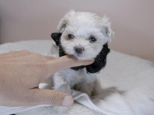 マルチーズの子犬(ID:1255511312)の1枚目の写真/更新日:2017-10-05