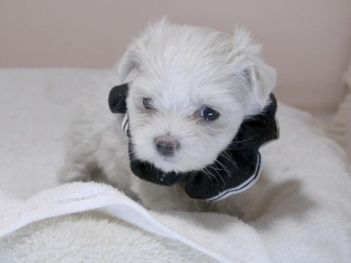 マルチーズの子犬(ID:1255511312)の2枚目の写真/更新日:2019-09-21
