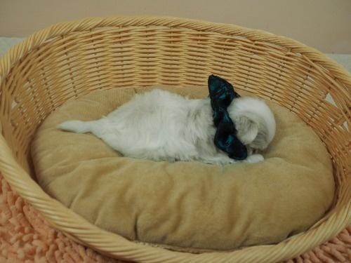マルチーズの子犬(ID:1255511314)の2枚目の写真/更新日:2017-10-05