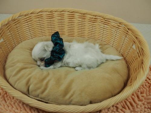 マルチーズの子犬(ID:1255511314)の3枚目の写真/更新日:2017-10-05