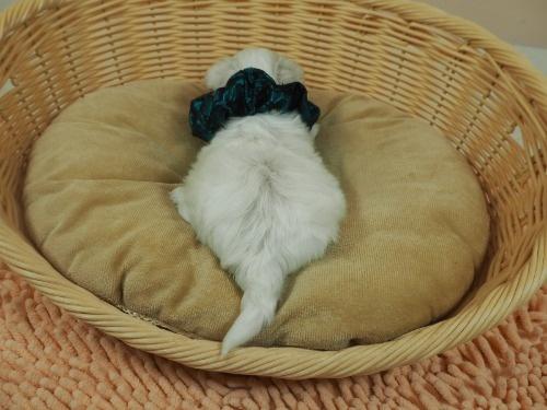 マルチーズの子犬(ID:1255511314)の4枚目の写真/更新日:2017-10-05