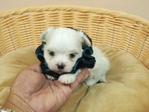 マルチーズの子犬(ID:1255511314)の5枚目の写真/更新日:2017-10-05