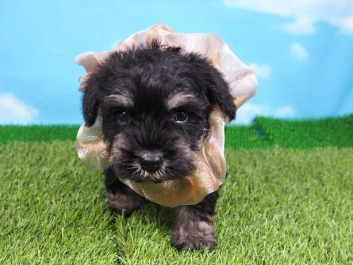 ミニチュアシュナウザーの子犬(ID:1255511315)の1枚目の写真/更新日:2019-12-09