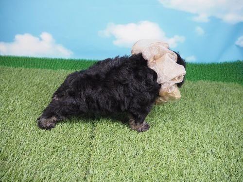 ミニチュアシュナウザーの子犬(ID:1255511315)の2枚目の写真/更新日:2019-12-09