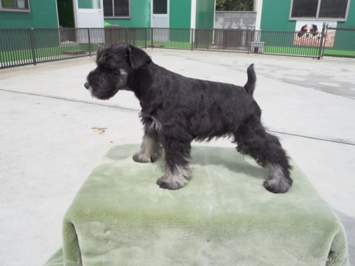 ミニチュアシュナウザーの子犬(ID:1255511315)の3枚目の写真/更新日:2019-12-09