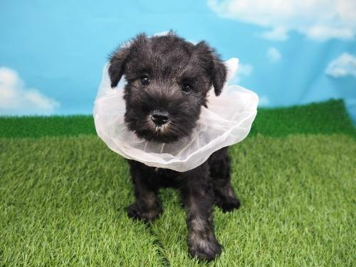 ミニチュアシュナウザーの子犬(ID:1255511316)の1枚目の写真/更新日:2017-10-05