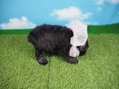 ミニチュアシュナウザーの子犬(ID:1255511316)の2枚目の写真/更新日:2020-04-03