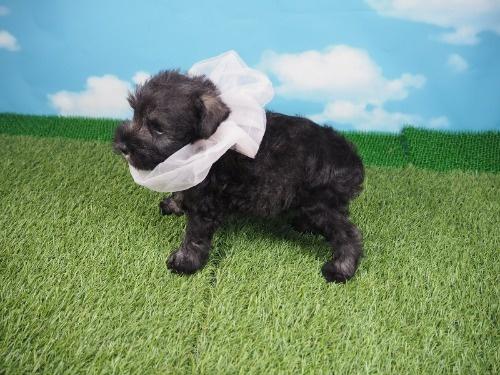 ミニチュアシュナウザーの子犬(ID:1255511316)の3枚目の写真/更新日:2020-04-03