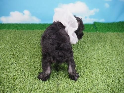 ミニチュアシュナウザーの子犬(ID:1255511316)の4枚目の写真/更新日:2017-10-05