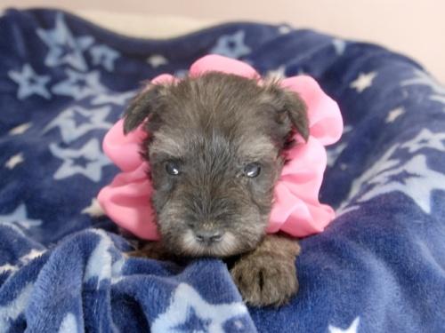 ミニチュアシュナウザーの子犬(ID:1255511317)の1枚目の写真/更新日:2017-10-15
