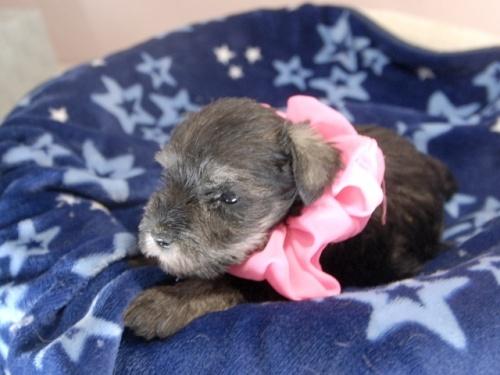 ミニチュアシュナウザーの子犬(ID:1255511317)の3枚目の写真/更新日:2017-10-15