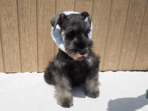 ミニチュアシュナウザーの子犬(ID:1255511318)の1枚目の写真/更新日:2017-10-20